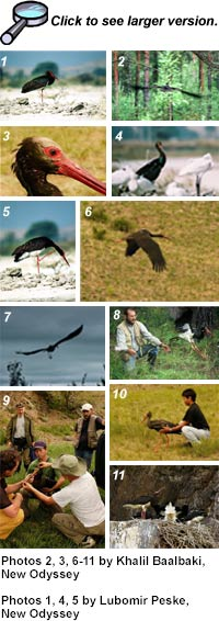thumbnails of Black Stork pictures